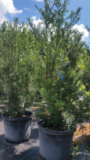 HUGE PODOCARPUS PLANTS FOR SALE! ALMOST 6' FEET TALL! for Sale in Miami, FL