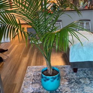 Plant, Large Palm, Healthy for Sale in Hyattsville, MD