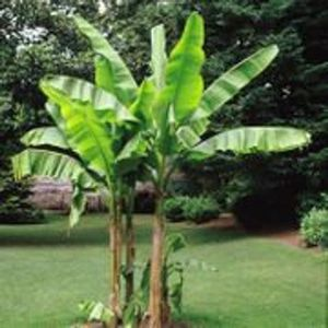 Banana palms ~ perfect transplant time! for Sale in Chesapeake, VA