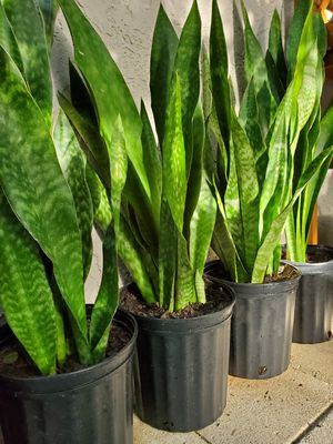 Sanseveria plants. Snake plants. Air purifying plants. About 2 feet tall. $15 each for Sale in Deerfield Beach, FL