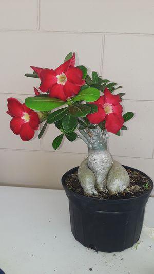 Desert Rose for Sale in Wahneta, FL