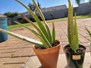 Aloe Plant for Sale in Bakersfield, CA