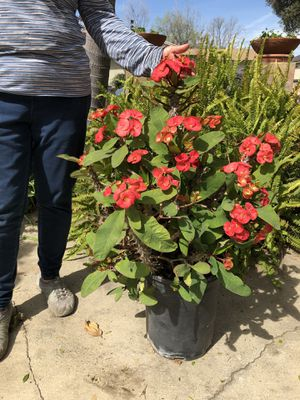 Large corona de cristo - crown of thorns succulent / cactus Mother's Day for Sale in Pomona, CA