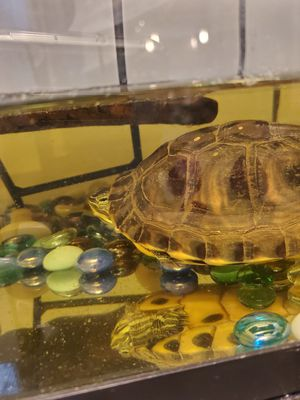 Turtle for Sale in Silver Spring, MD