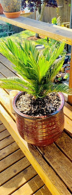 Live outdoor (or indoor) Sago Palm house plant in a textured ceramic planter flower pot—firm price for Sale in Tukwila, WA