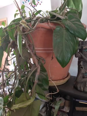 Large house plant for Sale in Colorado Springs, CO
