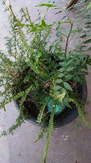 Fern for Sale in Fresno, CA