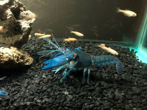 Blue lobster for sell 5$ each or buy 4 get 1 free for Sale in Sanger, CA