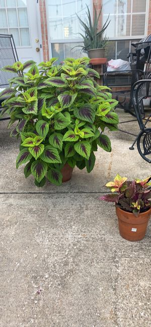 Beautiful lime green coleus plants for Sale in Carrollton, TX