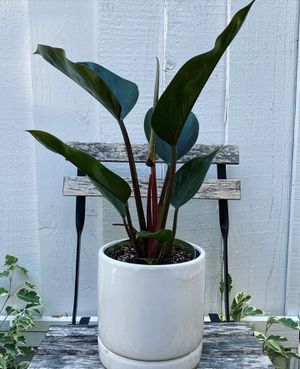 Philodendron Congo (rare plant) for Sale in Fremont, CA