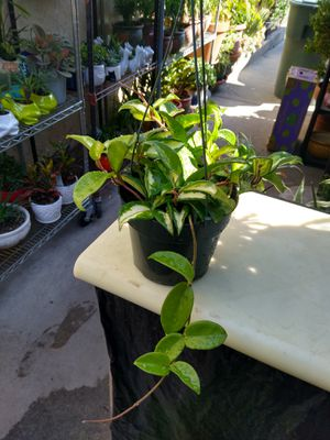 HOYA WAX PLANT for Sale in Paramount, CA