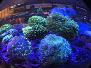 Indo Purple Tip Frogspawn Coral for Sale in Hialeah, FL