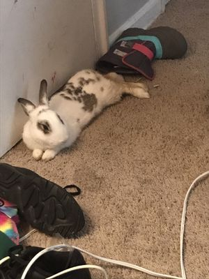 mr.hops really chill bunny not gonna lie 😭 for Sale in Mount Rainier, MD