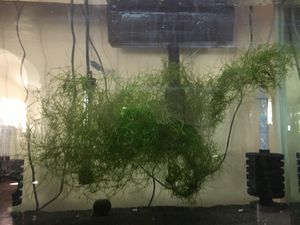 Moss plant for fish tank for Sale in Baldwin Park, CA