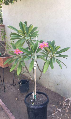 Plumeria (15 gallon) for Sale in Montebello, CA