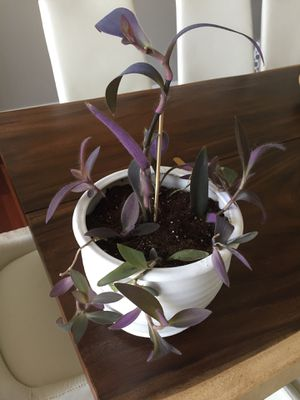 Purple Heart Plant for Sale in Happy Valley, OR