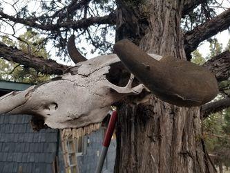 Skull for Sale in Prineville,  OR
