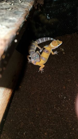 Tangerine &Albino Rainwater Geckos for Sale in Los Angeles, CA