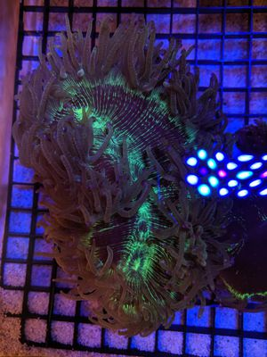 Elegance saltwater corals frags fish tank decorations for Sale in Lomita, CA