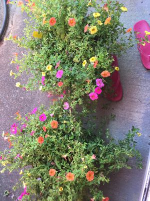 Flowers in pot for Sale in Gresham, OR