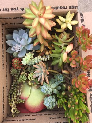 Succulent Cuttings for Sale in Hawthorne, CA