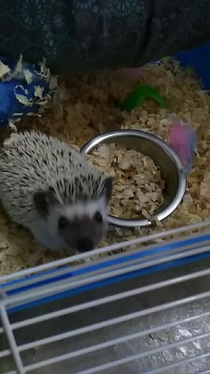 Victoria the hedgehog for Sale in Roanoke, VA