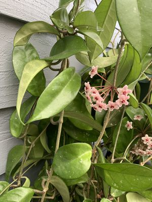Very long about 5' , beautiful blooming Hoya house plant. for Sale in Renton, WA