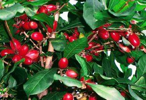Miracle tree in 3 gal arbol milagroso en 3 gal for Sale in Boca Raton, FL