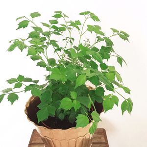 """Live China Doll House Plant in 6"""" Pot for Sale in Phoenix, AZ"""
