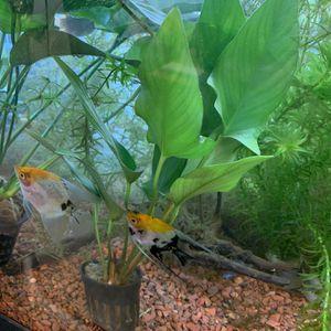 Anubias Aquarium Plants 10 inch for Sale in Rosemead, CA