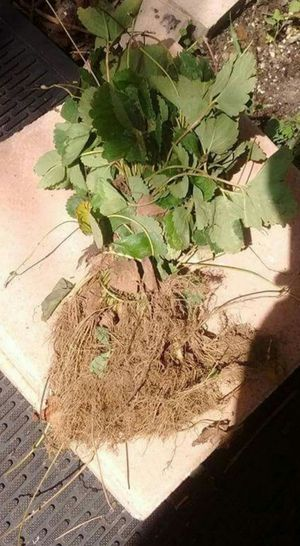 Strawberry plants. Bare roots for Sale in St. Cloud, FL