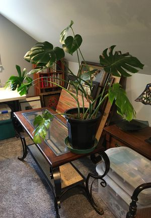 Monstera for Sale in Fife, WA