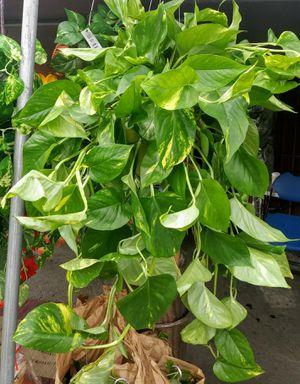 Planta de sombra/ Indoor Fresh Natural pothos plants for Sale in Los Angeles, CA