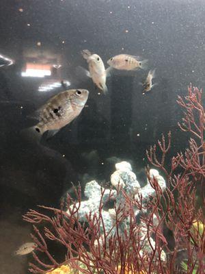 Fish Texas cichlids s/m for Sale in Cape Coral, FL