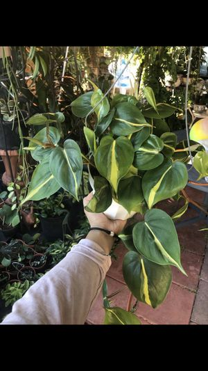 Heartleaf philodendron for Sale in South Gate, CA