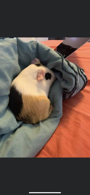 Guinea pig for Sale in Raleigh, NC