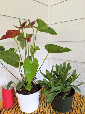 "Pair of Red Anthurium and Frostbite Cotyledon Succulent Plants in 6"" Pots for $12- Real Indoor House Plant for Sale in Auburn, WA"