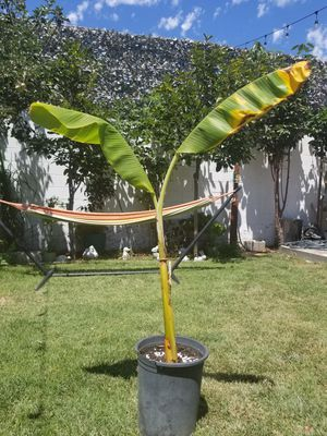 Dwarf banana trees for Sale in Inglewood, CA
