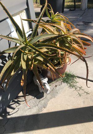 Huge Mature Succulent in Large Ceramic Pot for Sale in Vista, CA