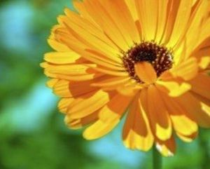 """""""Octoberfest"""" Strain Calendula seeds-5 heirloom seeds per pack for Sale in Marion, SC"""
