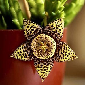 "🌵🌿 Orbea Variegata Cactus Succulents 🌿🌵 - ""Starfish Flower"" ⭐️🐠🌸 Stapelia Variegata for Sale in Whittier, CA"