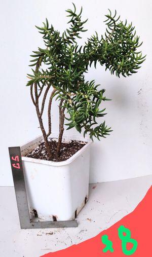 Lg Succulent Plant in 3 Gallon Container for Sale in Orange, CA
