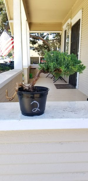 Japanese Bonsai tree plant in a pot for Sale in National City, CA
