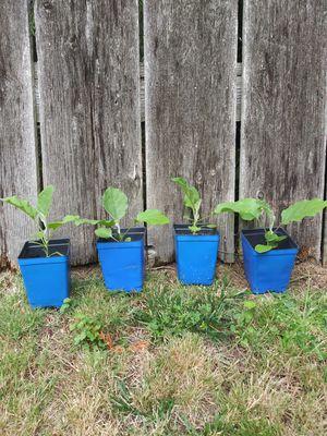8-inch eggplants - 4 plants plus bonus for Sale in Tacoma, WA