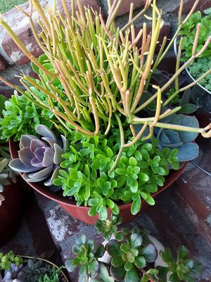 "12"" pot with succulent plants for Sale in La Mirada, CA"