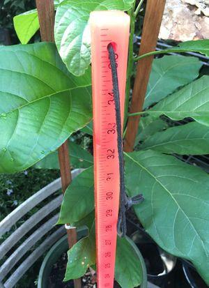 avocado plants/dwarf trees x3 for Sale in Palo Alto, CA