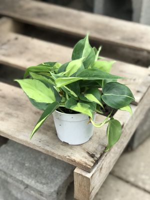 """Philodendron Brasil 4"""" pot for Sale in Fort Worth, TX"""