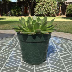 Tree Aeonium succulent for Sale in Dinuba, CA