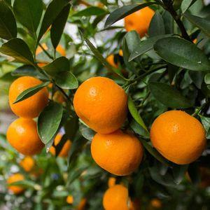 Murcott honey tangerine plant for Sale in Azalea Park, FL