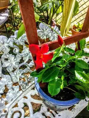 Mandevilla Trellis Climber for Sale in Kissimmee, FL